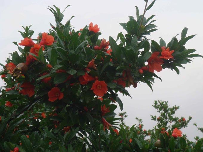 描述:园艺场种有400余亩优质会理石榴树,年可提供石榴果40万公斤,石榴